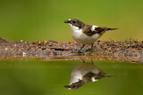 European Pied Flycatcher