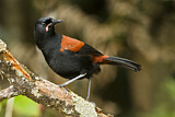 South Island Saddleback