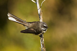 New Zealand Fantail