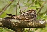 Jungle Nightjar