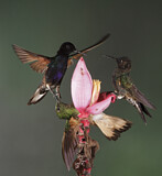Velvet-purple Coronet & Buff-tailed Coronet