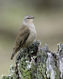 Brown Treecreeper