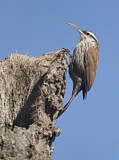 Narrow-billed Woodcreeper