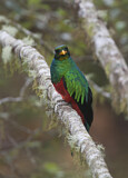 Golden-headed Quetzal