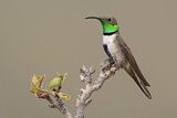 White-sided Hillstar