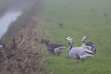 Bar-headed Goose & Greylag Goose