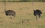 72771 - Common Ostrich (Struthio camelus) pair with chicks, Masai Mara, Kenya