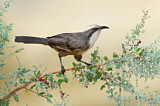 Grey-crowned Babbler