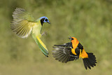 Green Jay & Altamira Oriole