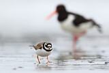 Common Ringed Plover & Eurasian Oystercatcher
