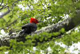 Magellanic Woodpecker