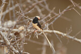 Straw-tailed Whydah