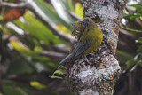 Grey-winged Cotinga