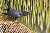 Cuban Crow