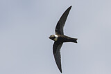 White-collared Swift