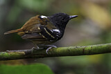 Southern Chestnut-tailed Antbird