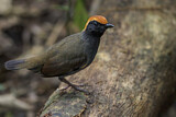 Rufous-capped Antthrush