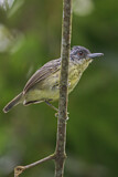 Spot-breasted Antvireo