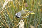 White-bridled Finch