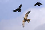 Western Marsh Harrier & Carrion Crow