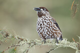 Spotted Nutcracker