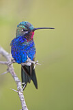 Blue-tufted Starthroat