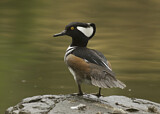 93043 - Hooded Merganser (Lophodytes cucullatus) male perched on a rock, California, USA