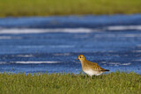 European Golden Plover