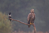 White-tailed Eagle & Eurasian Magpie