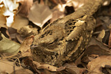 Long-tailed Nightjar