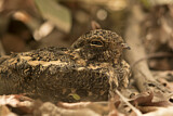 Standard-winged Nightjar