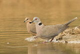 Vinaceous Dove & Mourning Collared Dove