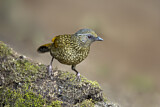 Scaly Laughingthrush