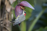 West Indian Woodpecker